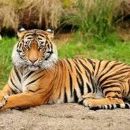 tiger-blog2