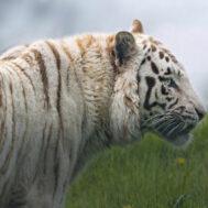 tiger-campaign-image